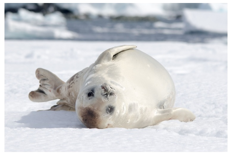 seal laying on snow